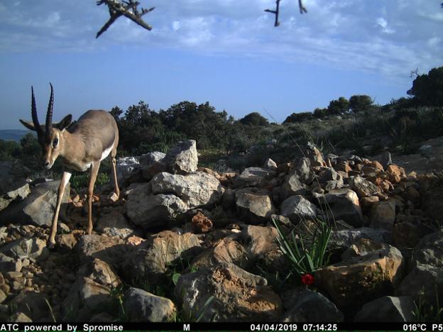צבי ישראלי שצולם במצלמת שביל בתחום הסקר בנחל דולב
