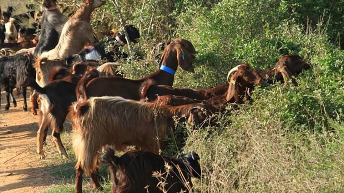 עדר עיזים