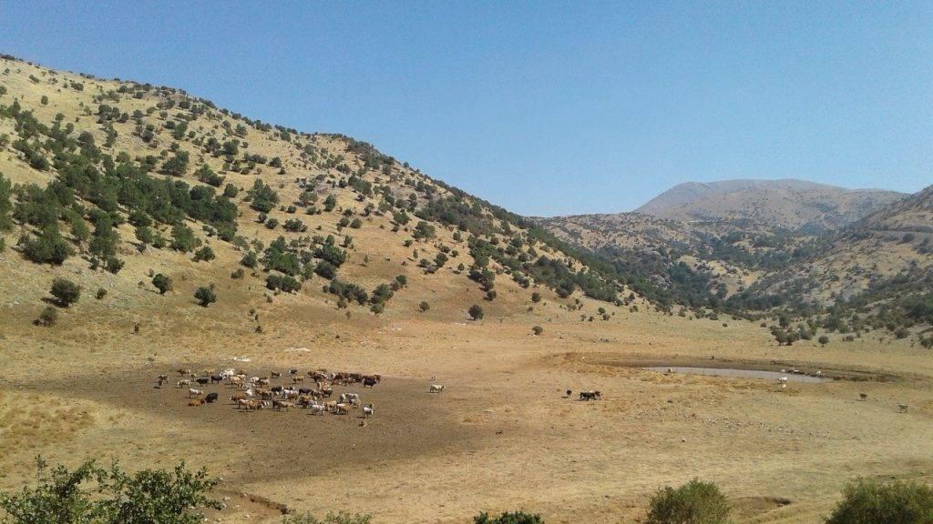 רעיית צאן בחרמון - אחיק דורצין
